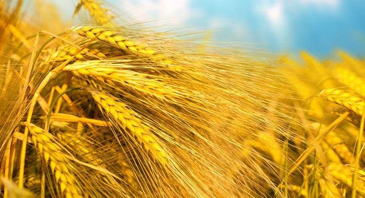 """Gluten zijn eiwitten die van nature voorkomen in alle granen oftewel """"koren"""". Denk maar eens aan tarwe, rogge, gerst, mais, rijst, spelt, haver en teff. Maar ook in het meel en de meelproducten die van deze granen worden gemaakt zoals brood, crackers en pasta. Stiekem zijn er ontzettend veel mensen die gluten niet of nauwelijks verdragen, waardoor zij te kampen krijgen met allerlei vage en onverklaarbare gezondheidsklachten."""