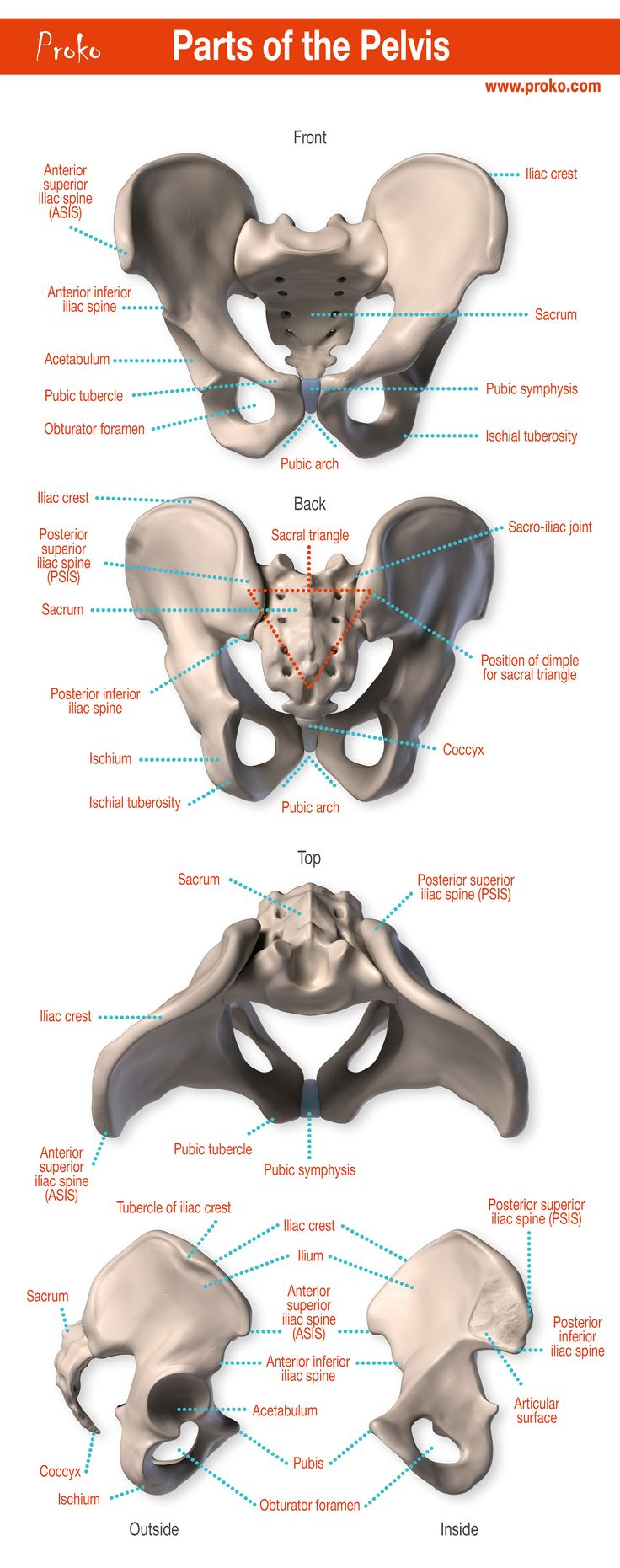 The parts of the pelvis. Click the image to watch The Anatomy of the Pelvis video. #proko #art #anatomy #pelvis #humananatomy #tutorial