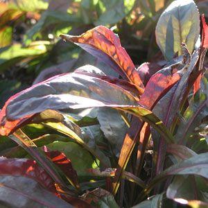 :: Penstemon digitalis 'Husker's Red' - Bronze-Bartfaden :: Mit Stauden gestalten :: English Border - Pflanzenversand Gaissmayer
