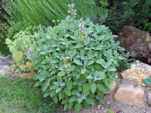 Sauge officinale, Salvia officinalis