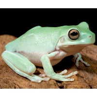 (White's Dumpy Tree) Frog: average length of 4-5 inches. Diet consists of insects (for the White's Dumpy Tree, larger insects). White's Dumpy Tree Frogs have an average lifespan of 15-20 years. Frogs would make great apartment pets because of their small size and, for the most part, low noise levels.     http://exoticpets.about.com/cs/frogsandtoads/a/whitestreefrog.htm