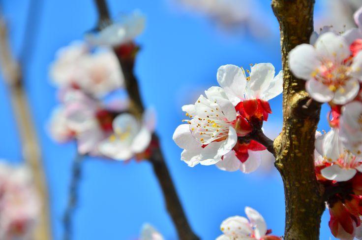 White-red spring flower