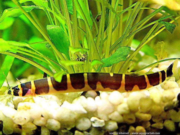 Pangio kuhlii, Kuhli. La loche kuhli Pangio kuhlii, également appelée loche serpent ou loche épineuse, a longtemps été diffusée sous le taxon Acanthophthalmus kuhlii. L'espèce P. fasciatus a été regroupée avec P. kuhlii. Les loches épineuses appartiennent la sous famille des Cobitinae. Ce petit...