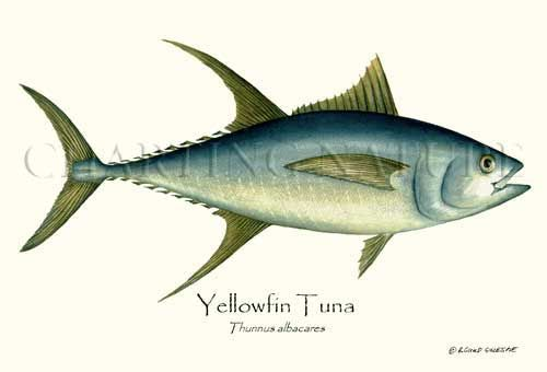 71 best under the sea antique and modern sea life for Ahi tuna fish