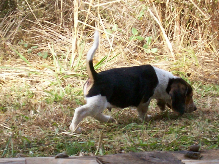 A good rabbit hunting Beagle  White tail tip in the air, nose to the ground.  He or she is lost to all the world, only the rabbit matters.