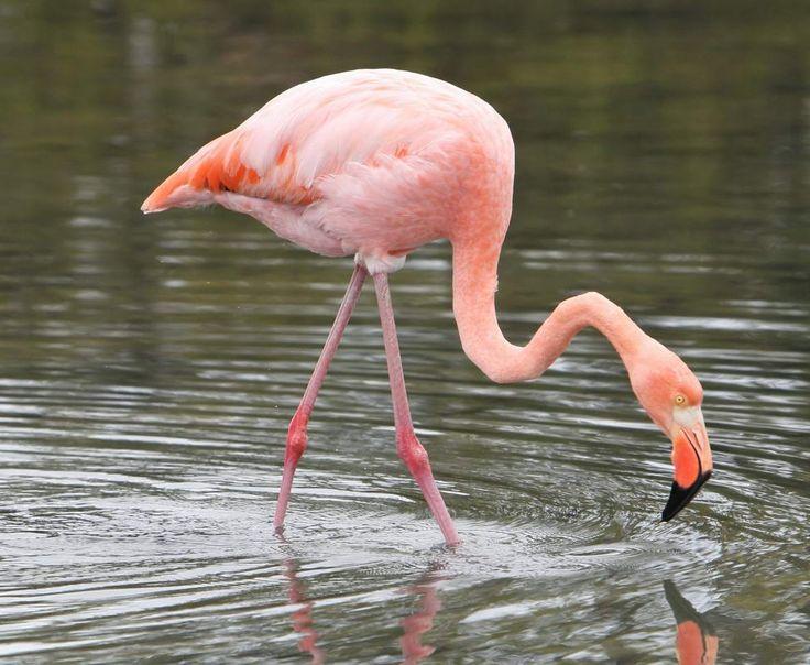 Фламинго птица фото где живут
