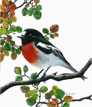 Scarlet Robin in Fagus by Helen Barnard