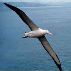 Albatross! Accessible breeding colonies by Dunedin, also commonly seen close to Kaikoura.