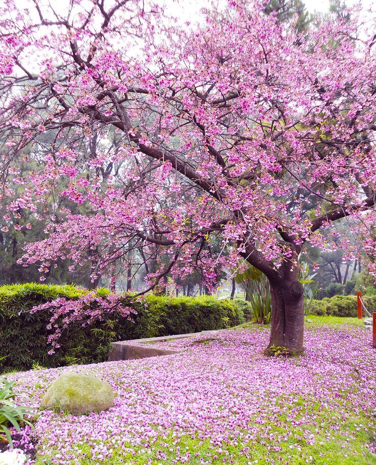 Las 25 mejores ideas sobre rbol japon s en pinterest y for Plantas jardin japones