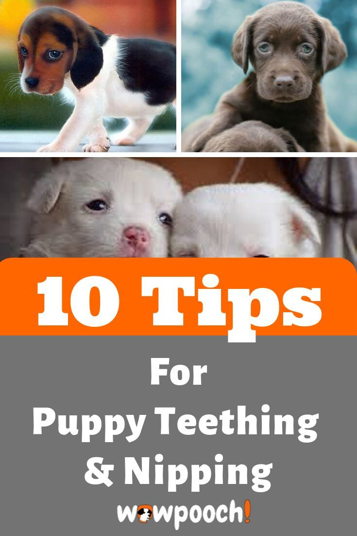 How To Deal With Your Puppy Teething And Nipping In 2020 Puppy Teething Puppy Teething Remedies Dog Teeth