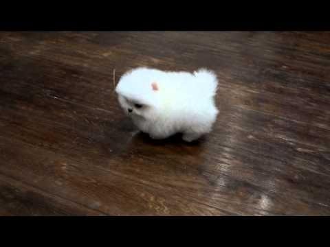 Белый щенок померанского шпица . White Pomeranian puppy, www.elitdog.com, Kennel «Elite Imperiya» - YouTube