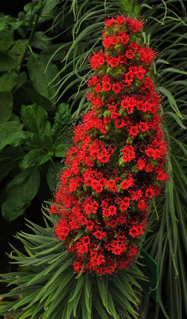 Tower of Jewels (Echium wildpretii) .. This plant is attractive to bees, butterflies and/or birds. Drought-tolerant; suitable for xeriscaping Self-sows freely; deadhead if you do not want volunteer seedlings next season....Biennials, Tropicals and Tender Perennials