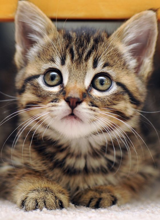 Un chaton mignon et attentif .......