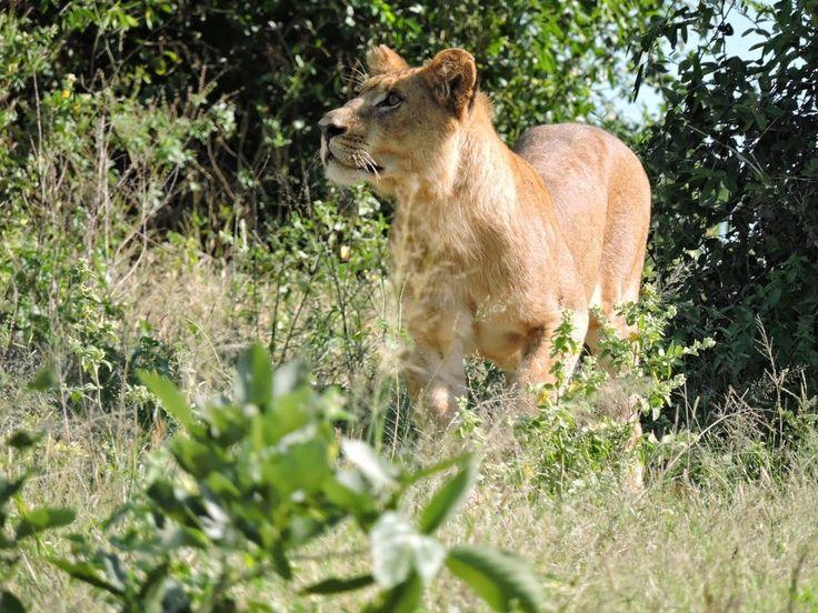 Lion in the Chobe National Park, Botswana