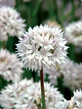 gracefulBeautiful Flower, White Flower, Amplecten Grace, Grace Beautiful, Allium Grace, Allium Amplecten, Flower Bulbs, Grace Allium, White Allium