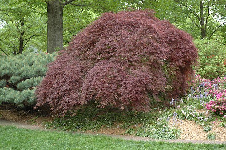 Click to view full-size photo of Tamukeyama Japanese Maple (Acer palmatum 'Tamukeyama') at Stein's Garden & Home