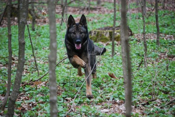 working german shepherd breeders 72 best images about other breeds i love on pinterest 7069
