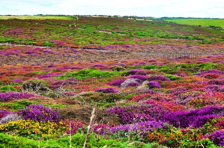 #Heather n awesome #weather  Cornwall #landscape  #Travel #photography #UK  Enjoy #colours pic.twitter.com/D1xg2Y3gDH