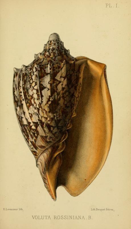 (1860) - Journal de conchyliologie. - Biodiversity Heritage Library #nature #shells #scientific #illustration