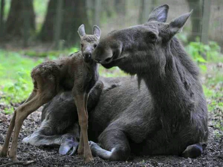 Awe! I don't know why but I have some strange moose obsession :/ ? XD they're so cute!