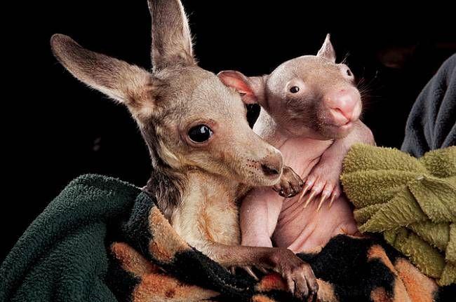 Asi pětiměsíční mláďata - klokan Anzac a samička vombata Peggy - se ksobě choulí ve střediskupro záchranu divokých zvířat vKilmore ve Victorii. Matky obou zvířat zabila auta. Záchranáři doufají, že