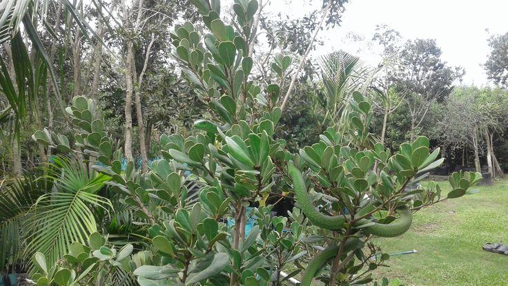 Green Mamba in a Coastal Red Milkwood (Mimusops caffra)