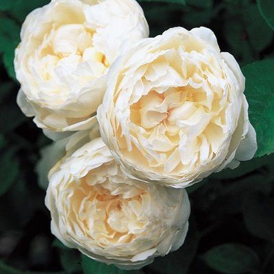 Creamy David Austin Rose- another rose that doesn't look like a rose. Beautimus!