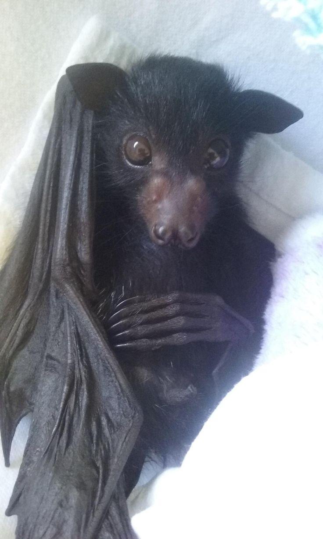 Flying Fox Bat pup