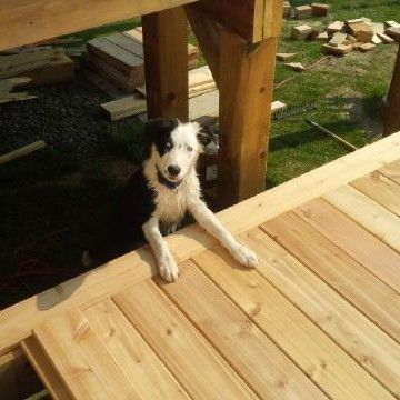 Piper comes to work with me often, here he is inspecting my carpentry skills on this cedar deck.