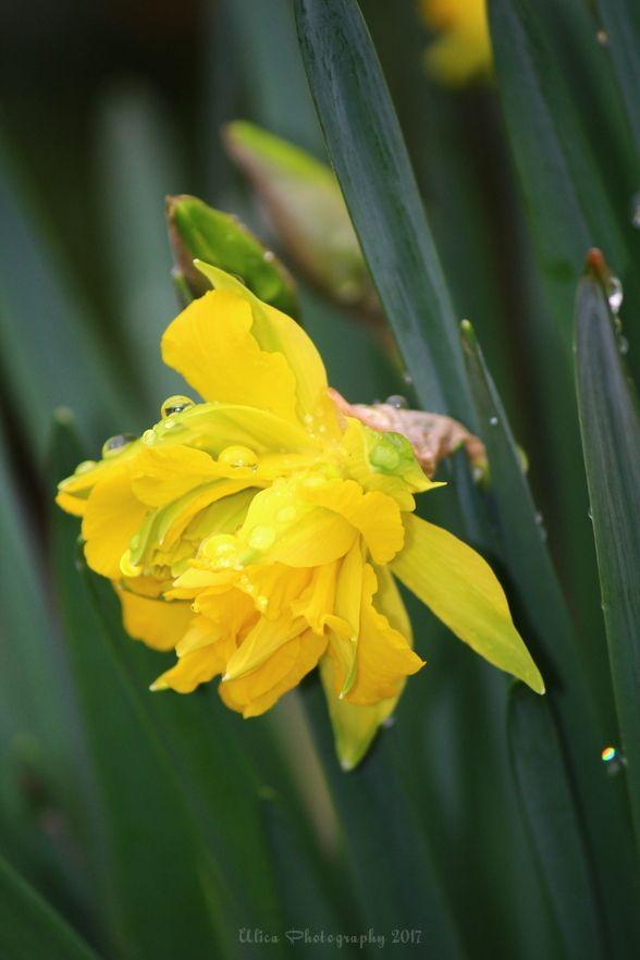 Fiore di narciso (Narcissus L.) sotto la pioggia...