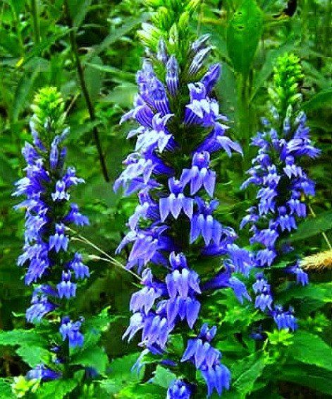 31 best native herbaceous plants of the northeast database images on pinterest