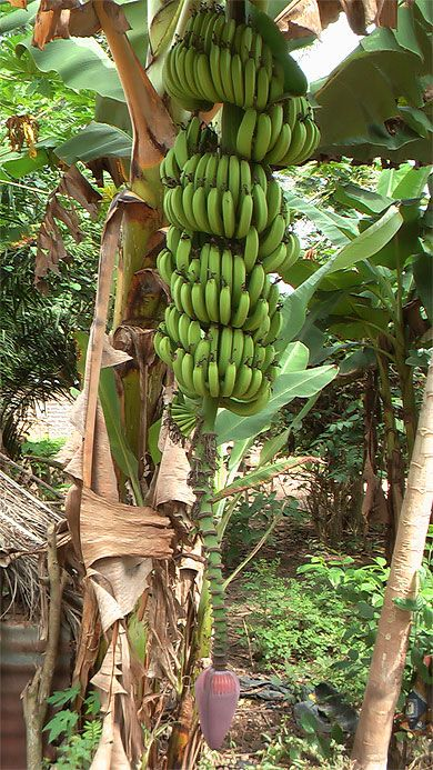 Bananier, régime et fleur  Côte d'Ivoire
