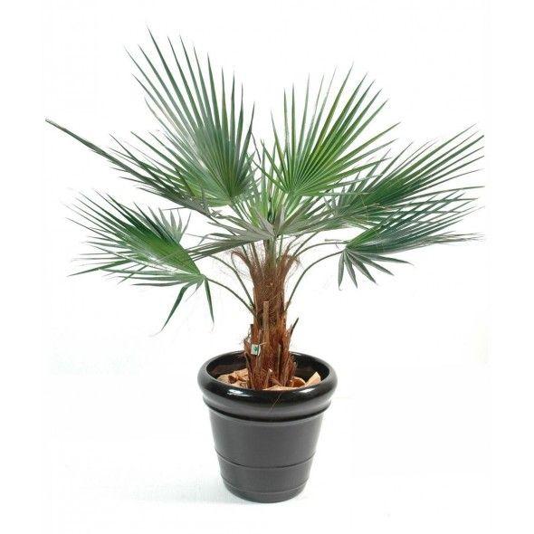 Palmier washingtonia 90cm sur infinienature.com