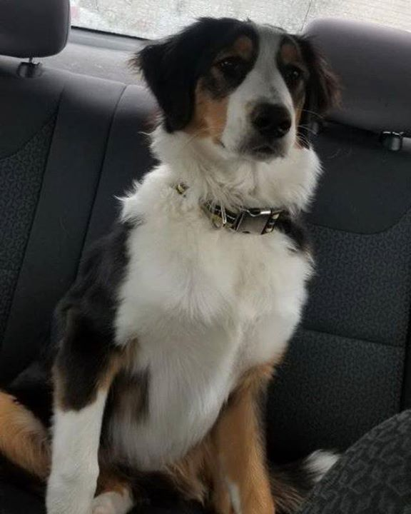 Is This Your Dog Rochester Border Collie Male Date Found 04 29 2019 Breed Of Dog Border Collie Gender Male Closest Intersect Dogs Losing A Dog Dog Ages
