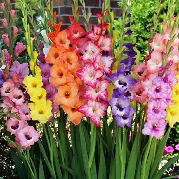 12 Gladiolus Flower Bulbs Spectacular Rainbow Mix All Colorspack Of 12 Bulbs Zone 3 10 Free Ship In 2020 Bulb Flowers Gladiolus Flower Gladiolus Bulbs