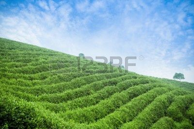 9893608-tea-plantation-beautiful-natural-environment.jpg (400×267)
