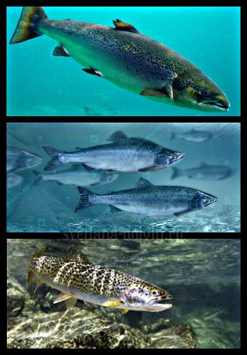 Все мы знаем о полезный свойствах рыбы, но много ли видов рыб мы ели? Какова рыба на вкус, если мы её не пробовали и какому виду отдать предпочтение? Я расскажу о том, какая рыба вкусная, а какая полезная и какую рыбу стоит есть на диете Гербалайф!