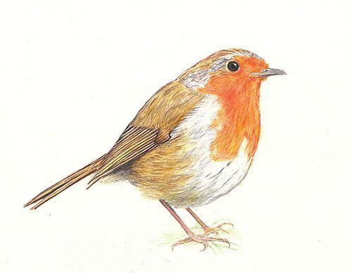 Image result for robin bird sketch