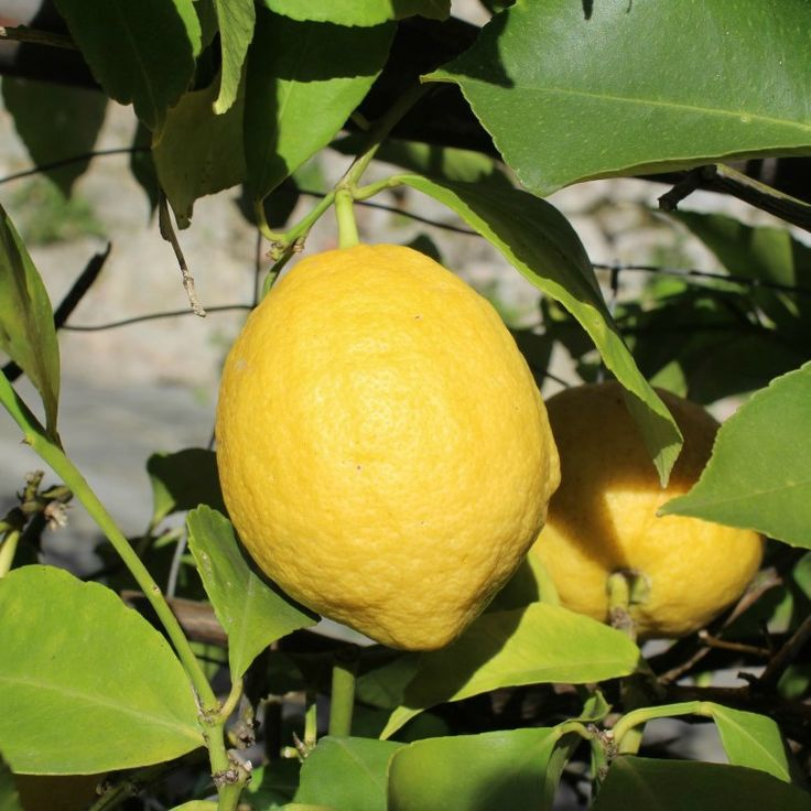 Citrus is everywhere in the hills of Tuscany. Oranges, lemons and mandarins.