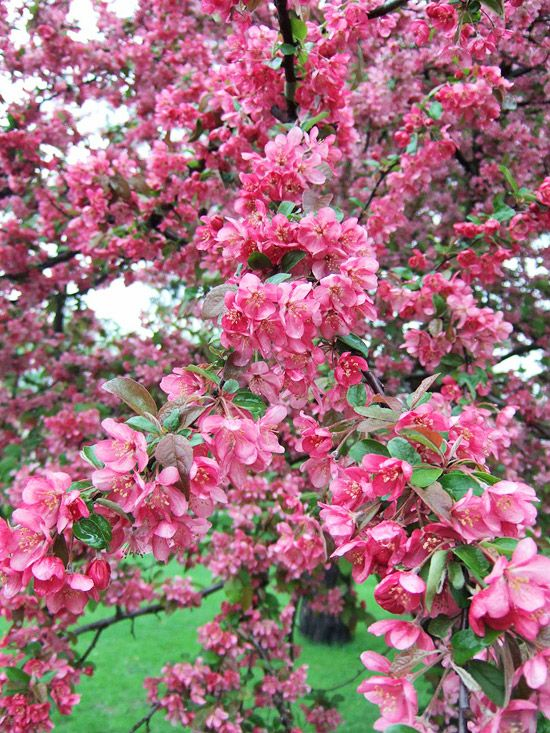 Adams Adams CRABAPPLES!...Leaves also emerge with a reddish tint but mature to green by summer. The foliage begins as deep pink blooms, however, develops good orange-red foliage for fall. The tree produces 1/2 to 3/4 in. diameter glossy red fruits with blood-red pulp. Fruits hang on the tree into winter and attract birds. Broadly rounded to pyramidal form. 15-20ft tall and 15-20 ft wide. Zones 4-8