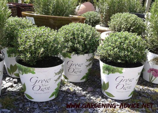best  growing herbs in pots ideas on, Beautiful flower