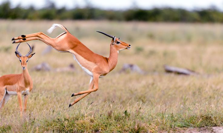 Where the Antelope Play. June 6  PHOTOGRAPH BY CHRIS SCHMID, NATIONAL GEOGRAPHIC YOUR SHOT