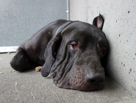 Please network for these 4 senior dogs, left homeless following the death of their guardian. The dogs are MIKE (ID#A1010459), & MICK (ID#A1010458), both 10-yo & Neapolitan mastiff mix; and Marlon (ID#A1010463), & Maury (ID#A1010462), both 8-yo & are Dogue De Bordeaux. All of the dogs are now in need of a safe, loving home in which to spend the remainder of their golden years. Click for contact info and Facebook link.