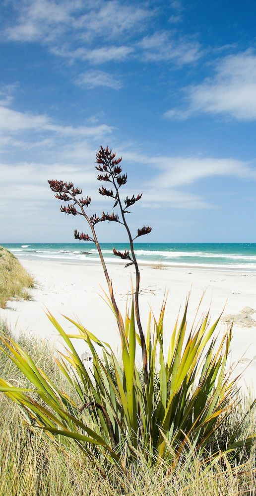 Flax flowers - Catlins Coast - New Zealand
