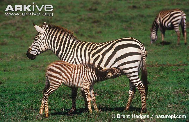 Plains zebra photo - Equus quagga - G50570 | Arkive