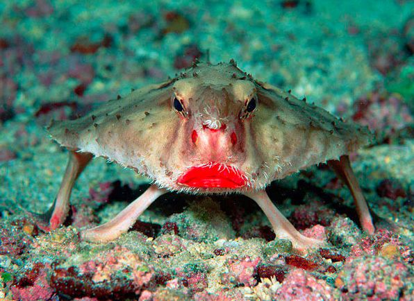 Red-lipped batfish. Most amazingly, these fish aren't good swimmers. They prefer to walk on the seabed.