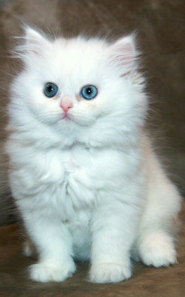 Cats - White Persian kitten.