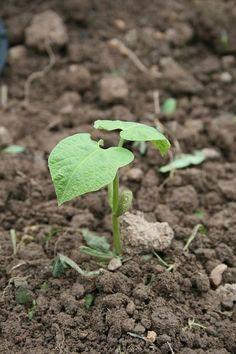 Semis de haricots verts : quand et comment ?