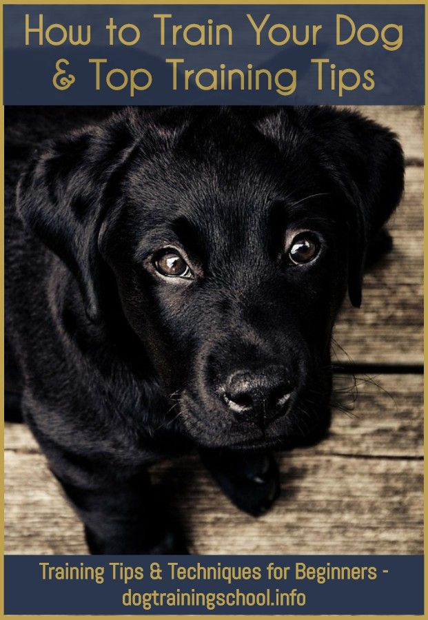 How To Teach Your Dog To Walk Off Leash Black Labs Dogs Lab Dogs