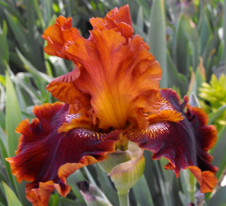 17 Best Images About Iris On Pinterest